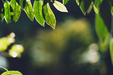 Leaves, background, leaves and evening light - 243774417