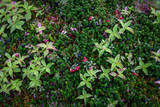 Crowberries and Lingonberries