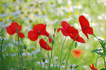 Red poppies on the background of a blooming meadow