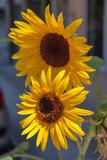 Closeup of sunflower in bloom. - 243798675