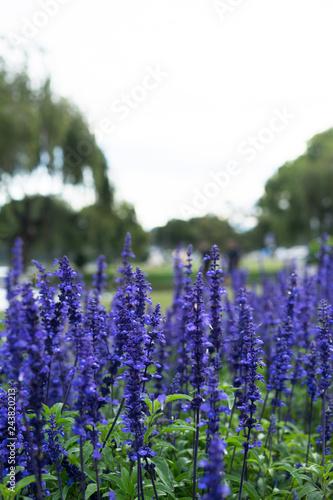 purple lavender close up - 243820213