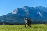 Tiroler Grauvieh / Alpenkuh auf einer Weide in Bayern