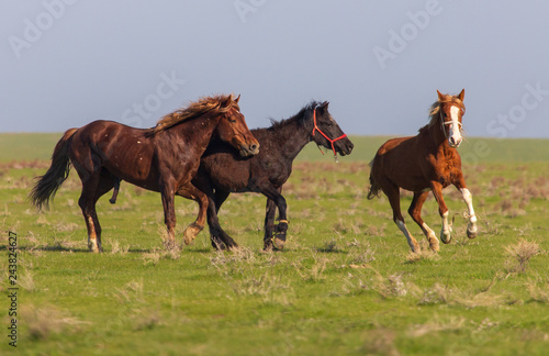 Horses graze in the steppe of Kazakhstan in spring