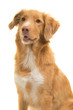 Portrait of a nova scotia duck tolling retriever looking away isolated on a white background in a vertical image