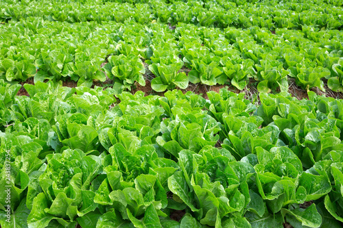 fototapeta na ścianę Non-toxic fresh vegetables in the planting field.