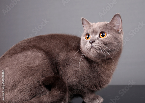 Portrait of a beautiful gray cat