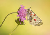 Apollo butterfly resting with wings closed on a flower on a soft green natural background