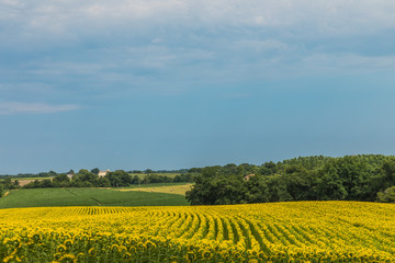 .Sunflower field with cloudy