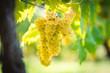 canvas print picture - Weintrauben im Sonnenlicht