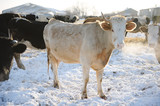 Cows on a Russian farm in winter