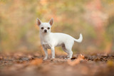 Pretty standing white chihuahua dog seen from the side in a autum forest