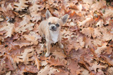 Chihuahua dog looking up seen from a high angle view looking at the camera sitting between autumn leaves