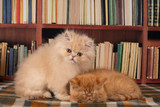 exotic kittens play in the library - 243868039