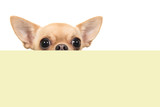 Cute chihuahua dog peeking over the edge of a yellow box on a white background with space for copy