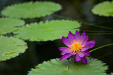Purple water lily in a pond with green leaves