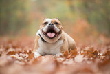 Happy English bulldog lying down between autumn leaves in a forest looking at the camera