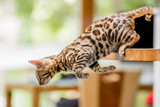 A Bengal kitten jumping off a kitchen table launching itself forward with two paws pushing off. - 243877635