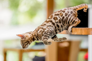 A Bengal kitten jumping off a kitchen table launching itself forward with two paws pushing off.