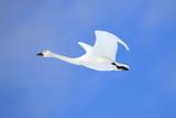 ハクチョウ Swan