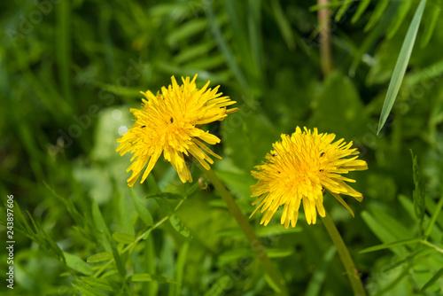 blooming yellow dandelion flowers - 243897606