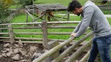 Young man looking at porks in a farm, outside in their fenced area - 243915641