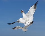 Comical White Seagull Feeding in Flight with blue sky background