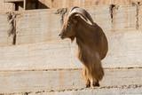 Arrui o Muflon del Atlas macho - Barbary sheep  - 243925851
