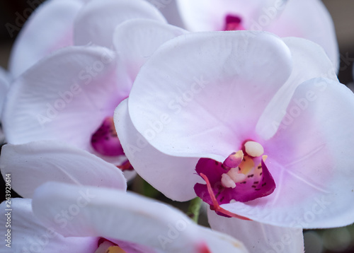white orchid close up - 243929614