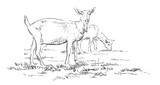 Vector hand drawing goat - 243930633