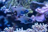 Zwei kleine blaue Fische im Aquarium