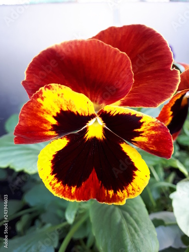 pansy - 243944603