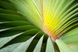 Natural abstract background of tropical palm fronds in a close-up detail