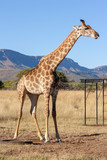 Fototapeta Sawanna - Giraffe in the savannah - South Africa © Sus