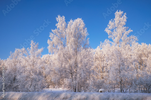 Frozen birch trees covered with hoarfrost and snow. - 243973007