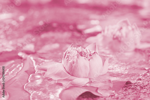 beautiful lotus flower in pond, droplet water on lotus, pink white color - 243996418
