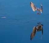 bird landing on ice