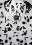 Dalmatian dog sitting and looking at the camera
