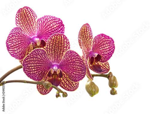 Violette Orchideen, Orchidaceae, vor weißem Hintergrund - 244031061