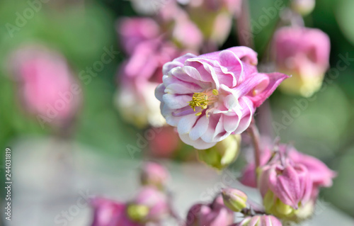 Wall mural close on beautiful pink columbine flower blossoming in a garden