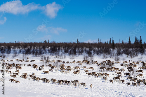 fototapeta na ścianę in the far cold north through a snow-covered field there is a herd of wild deer