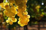 Close up bunch of white grape hanging at vineyard - 244045204
