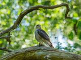 Female Sparrowhawk (Accipiter nisus) with prey - 244057645