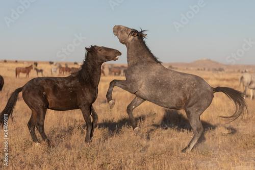 Poster Wild Horse Stallions Sparring in the Utah Desert