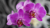 Fototapeta Storczyk - blooming Orchid as a background for the presentation © alex