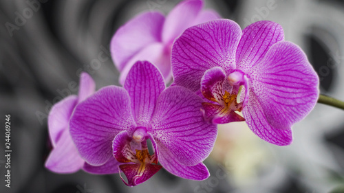 blooming Orchid as a background for the presentation - 244069246
