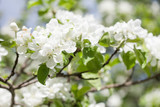 Apple tree flowers blossom macro view. Blossoming white pink petals fruit tree branch, tender blurred bokeh background. Shallow depth of field. - 244071424