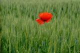 Papavero solitario in un campo - 244087061