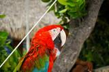 Guacamayo rojo mirando 1