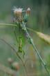 green grasshopper thistle in bloom