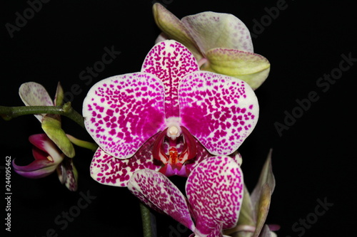 Orchid flower on black background. - 244095462